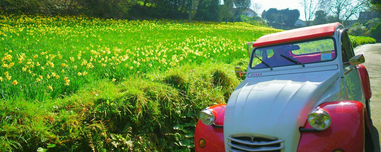 2cv and daffodils field
